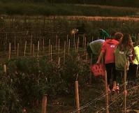 tomato-harvest-americas-grow-a-row